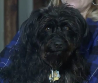 Dillon, a Schnauzer mix, was found caught in a trap during an ice storm.