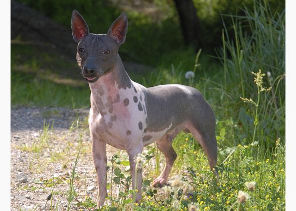 american hairless terrier ap eoezyu 590