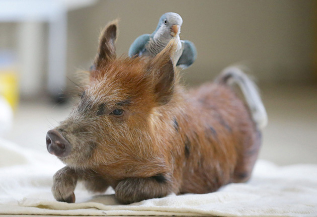 Pig and parrot are best friends