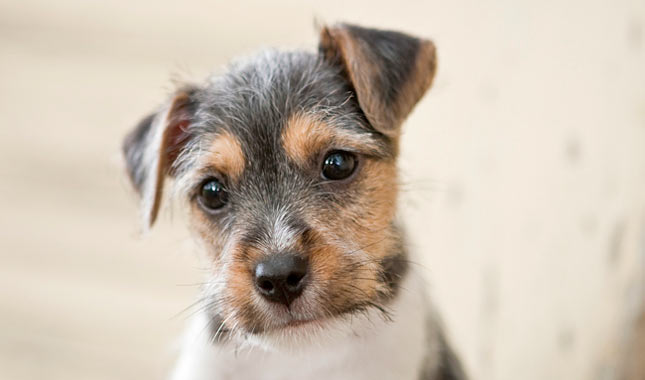 Australian Miniature Fox Terrier Dog Sale