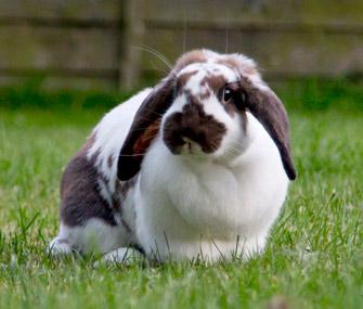 Rabbit on a lawn
