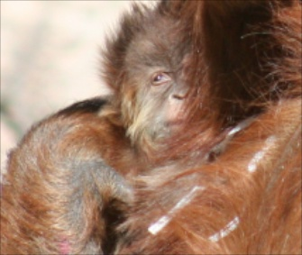 It's a girl! The ABQ BioPark's baby orangutan snuggles with her mom.