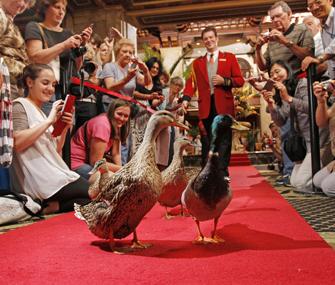 Peabody Hotel Ducks