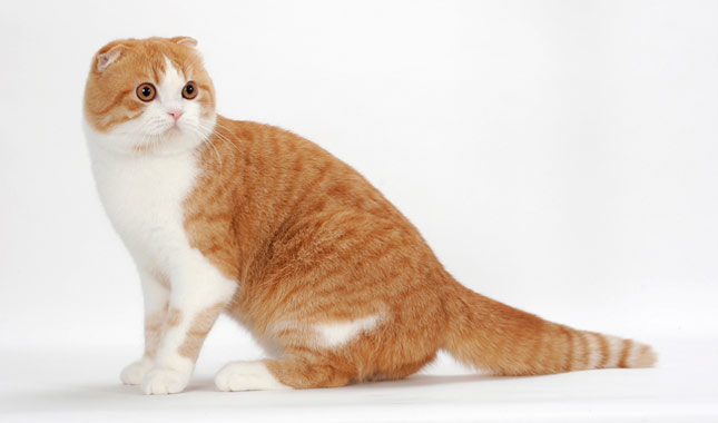 Scottish Fold / Highla...