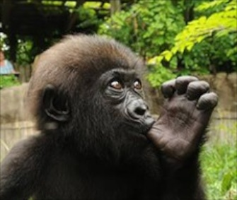 Gladys, a 5-month-old Western lowland gorilla, is bonding with surrogate mom M'Linzi.