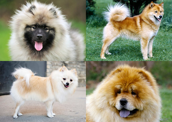 chow chow pomeranian dog breeds you might not know are related 8638