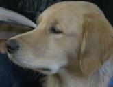 Gracie the comfort dog