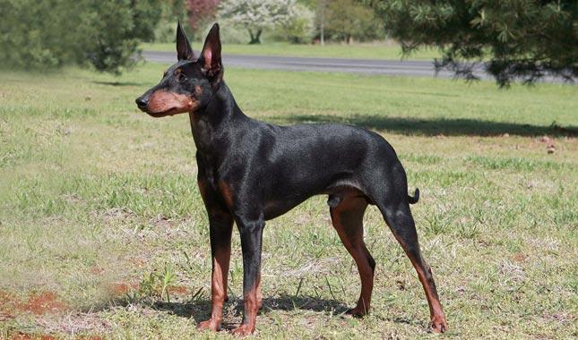 manchester terrier rescue