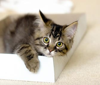 New kitten playing in a box