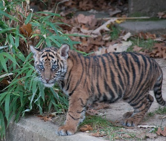 One of the National Zoo's two Sumatran tiger cubs makes its public debut.