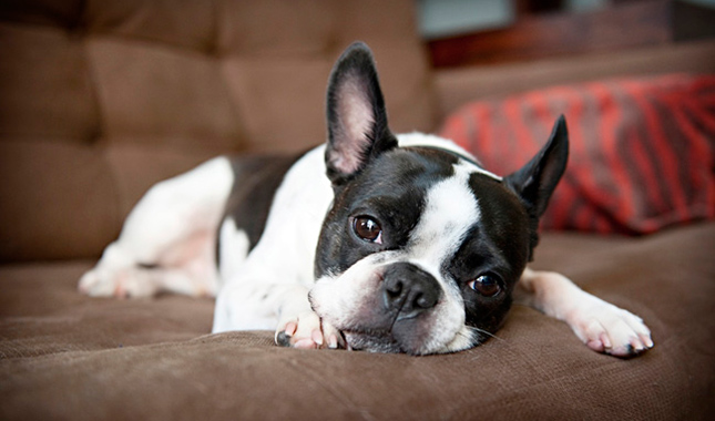 Boston Terrier Dog Breed Information