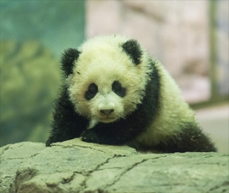 Bao Bao the panda cub made her media debut at the National Zoo in Washington on Monday.