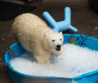Nora the polar bear cub plays in a pool filled with ice cubes at the Oregon Zoo.