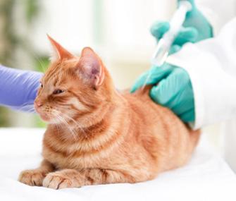 Diabetic Cat