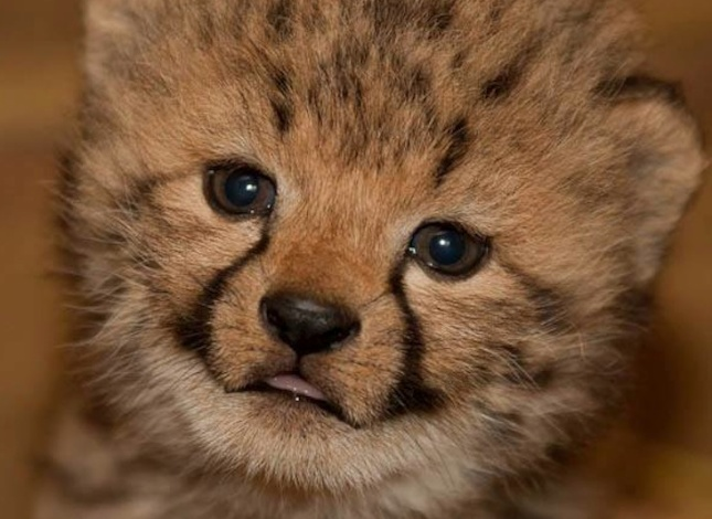 Burgers' Zoo cheetah