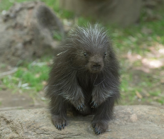 Baby porcupine born at Bronx Zoo