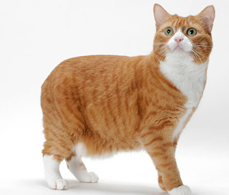 Orange and white Manx cat