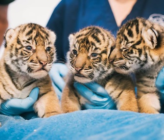 Three critically endangered female Sumatran tiger cubs were born Oct. 8 at the Point Defiance Zoo.