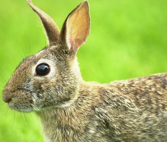What Should You Do If You Find a Baby Bunny Nest?