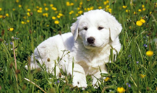 Anatolian Shepherd Breed Information