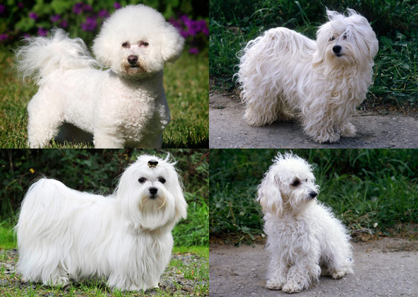 maltese havanese dog breeds you might not know are related 3396