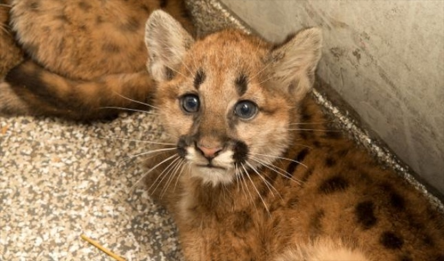 Three cougar cubs were found orphaned in Oregon.