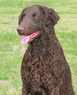 curly coated retriever breed information