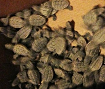 A Sarasota, Fla., police officer helped rescue about 100 disoriented sea turtle hatchlings.