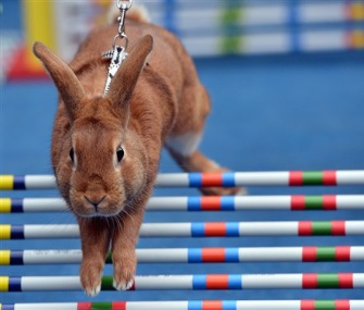 A rabbit hops over a hurdle at a competition in Prague on Monday.