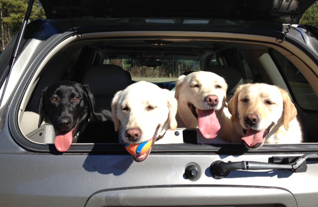 Four Labs in Car