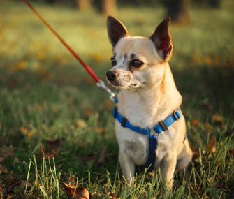 senior chihuahua on a walk