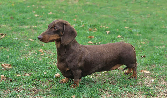Not Adult dachshunds groundhounds mini not our sale talk