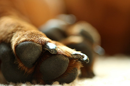Close up of dog's paws and nails