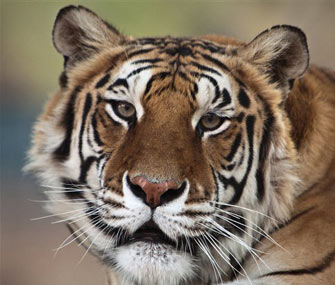 Thriller, a bengal tiger who once belonged to Michael Jackson, died at age 13 from lung cancer.