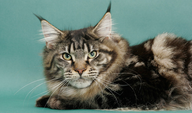 Maine coon hair loss