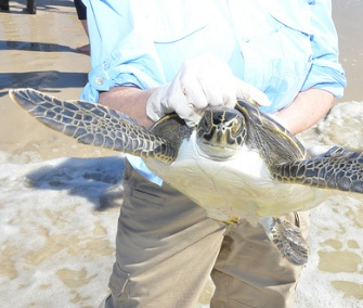 One of dozens of sea turtles is prepared for release in Florida.