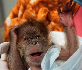 A female Sumatran orangutan was born to Como Zoo resident Markisa on Jan. 7.