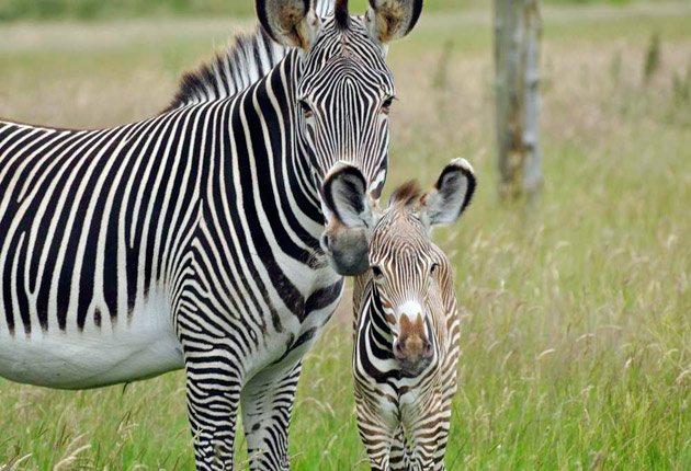 Baby Zebra at Whipsnade Zoo with her mom