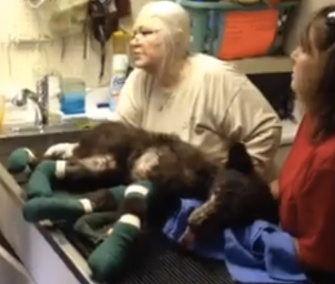 Cinder is being treated for severe burns at the Lake Tahoe Wildlife Center in California.