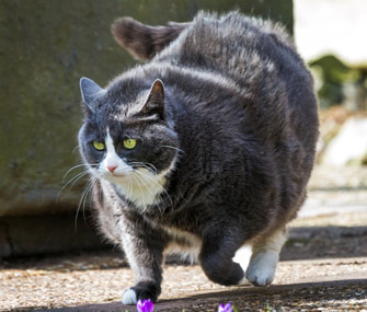 cat obesity learn about identification treatment and prevention