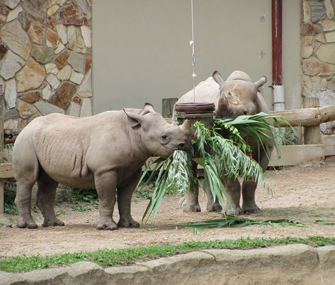 rhinoceros eating leaves at the zoo