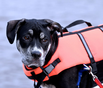 Dog wearing life jacket near water
