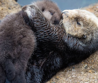 A wild otter gave birth to an adorable baby in the Monteregy Bay Aquarium's tide pool Sunday.