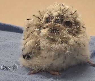 A tawny frogmouth chick hatched at the St. Louis Zoo last month.