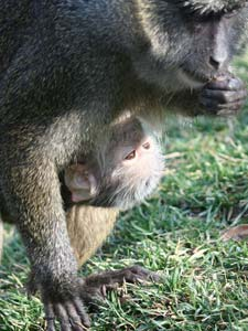 baby monkey clinging to parent