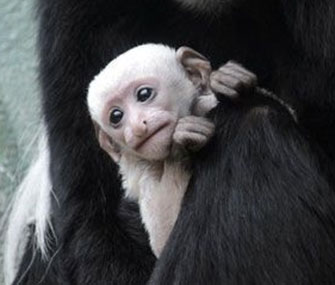 A baby Colobus monkey is on display at the St. Louis Zoo.