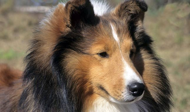 shetland sheepdog dog breed information. Black Bedroom Furniture Sets. Home Design Ideas