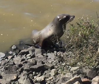 A sea lion was rescued after wandering onto a highway in California's wine country.
