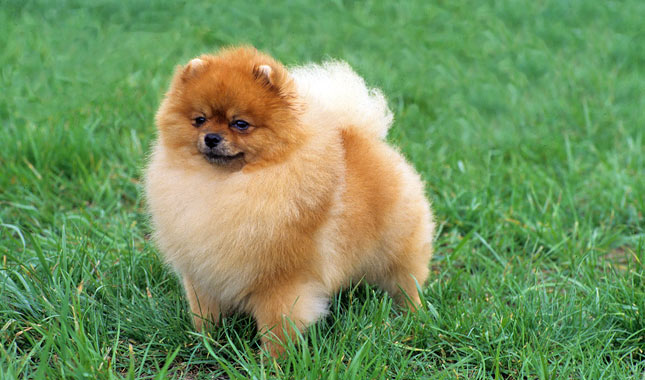 Toy Pom Dog Price In India