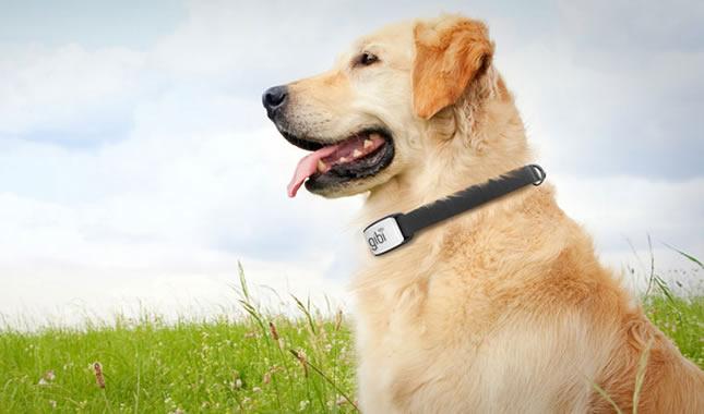 Gibi tracking collar